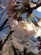 【渋谷東急ハンズ前ザッカーバーグ&トウキョウキッズ】wifi無料、桜キャンペーン、全時間帯で100円引き(3月末まで)